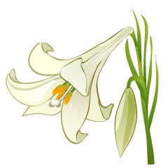 Lily Flower Clipart